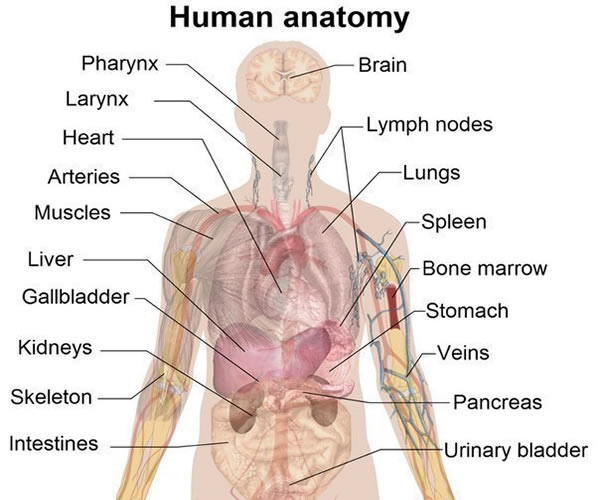 Human Anatomy – Vocabulary | Vocabulary Home